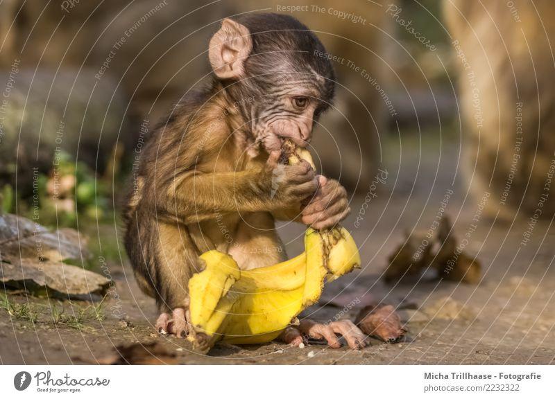 Affenbaby mit Banane Natur Sonne Hand Tier gelb Auge klein braun orange Sand Frucht Ernährung Wildtier sitzen Schönes Wetter entdecken