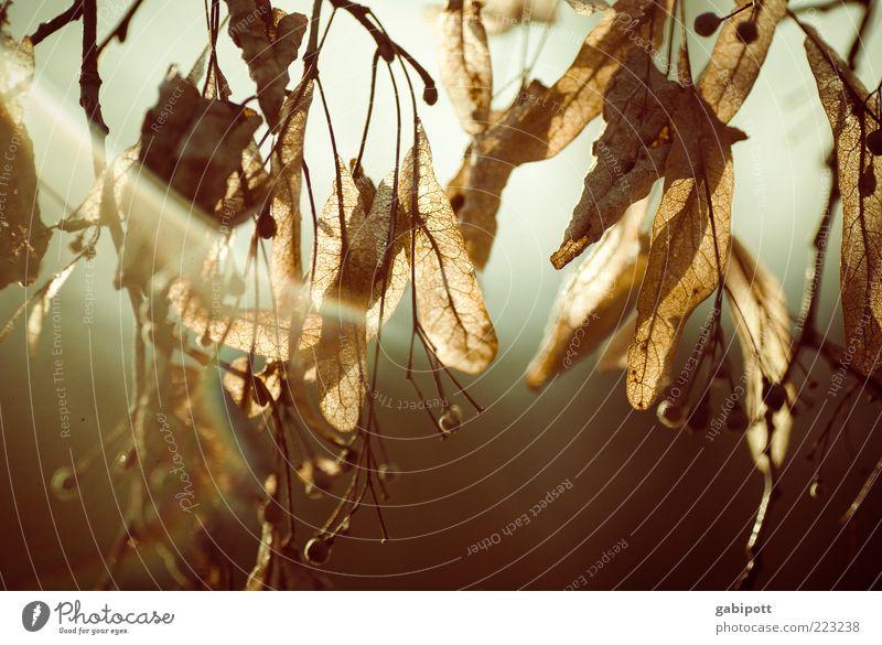 abhängen Natur alt Baum Pflanze Blatt Leben Herbst natürlich Vergänglichkeit trocken Verfall Jahreszeiten Abenddämmerung vertrocknet Herbstlaub hängend
