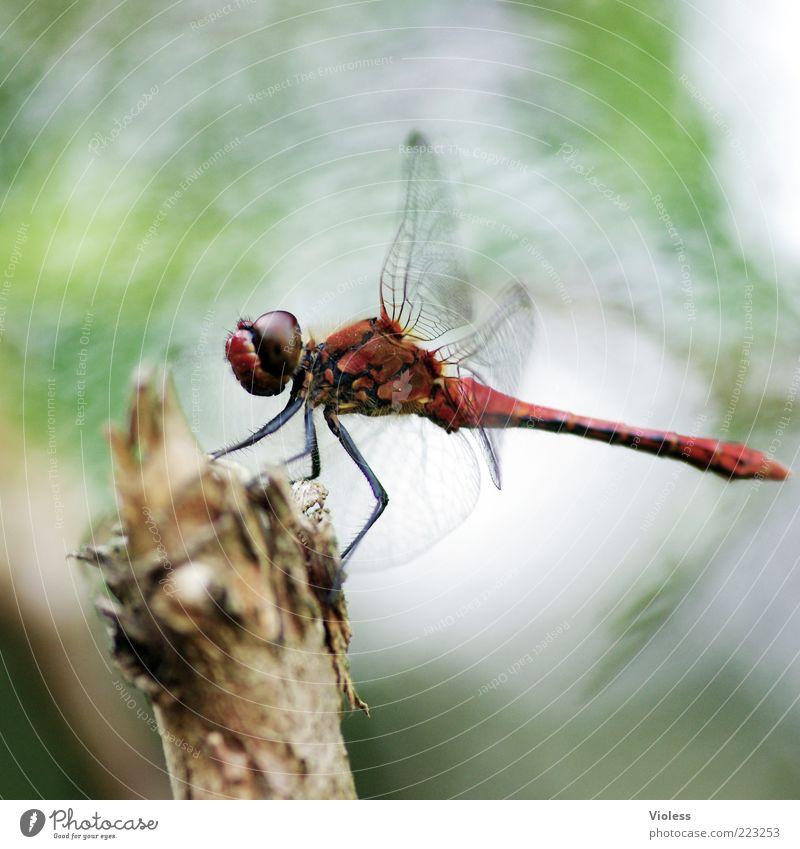 Roter Baron Natur Tier Sommer 1 rot Libelle Heidelibelle Farbfoto Makroaufnahme Unschärfe Ganzkörperaufnahme Flügel Tierporträt sitzen Holz Bewegungsunschärfe
