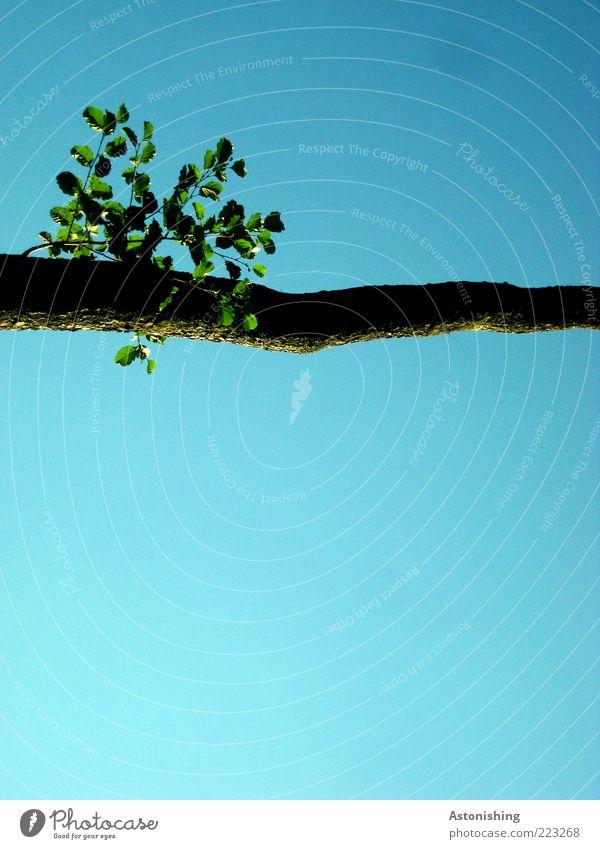 Querbalken Umwelt Natur Pflanze Himmel Wolkenloser Himmel Sommer Schönes Wetter Baum Blatt Grünpflanze Wildpflanze hoch blau grün Ast quer gerade oben
