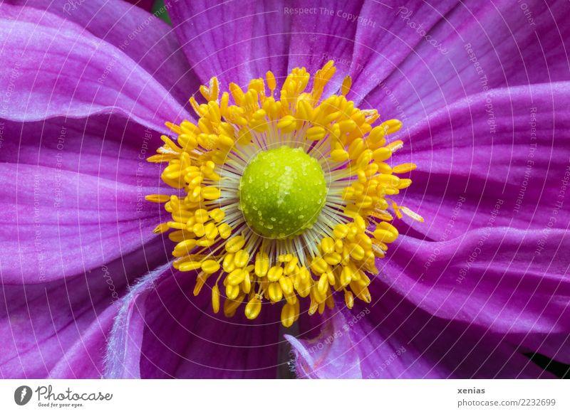 Rosa, gelb, grün, Anemone Tier Sommer Herbst Blume Blüte Anemonen Blühend schön weich rosa Hahnenfußgewächse Herbstanemone Windröschen Staubfäden Blütenblatt