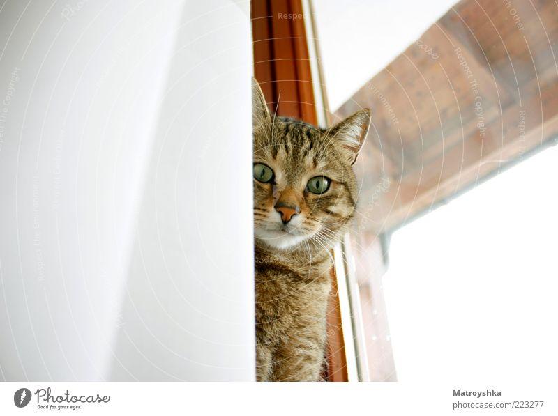 Mein Mitbewohner Fenster Fensterrahmen Haustier Katze Vorhang Blick schön Neugier Güte Farbfoto Innenaufnahme Nahaufnahme Tag Froschperspektive Tierporträt