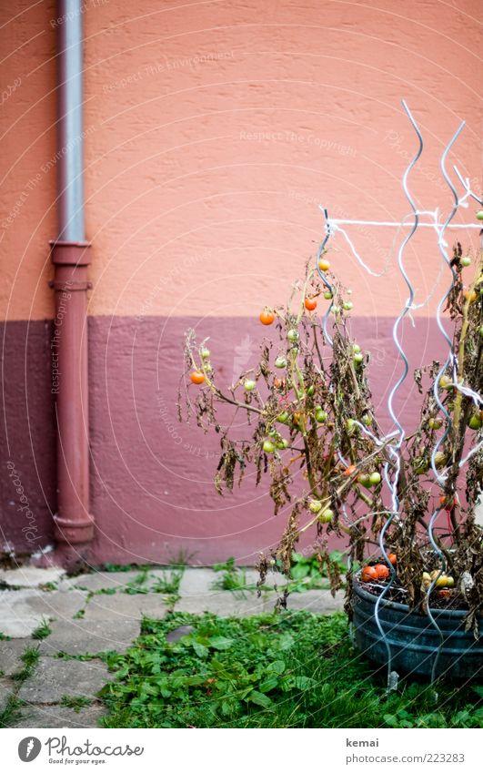 Traurige Tomaten Lebensmittel Gemüse Ernährung Umwelt Natur Pflanze Sträucher Nutzpflanze Topfpflanze Garten Wiese Bodenplatten Regenrinne Wand Fassade Stab
