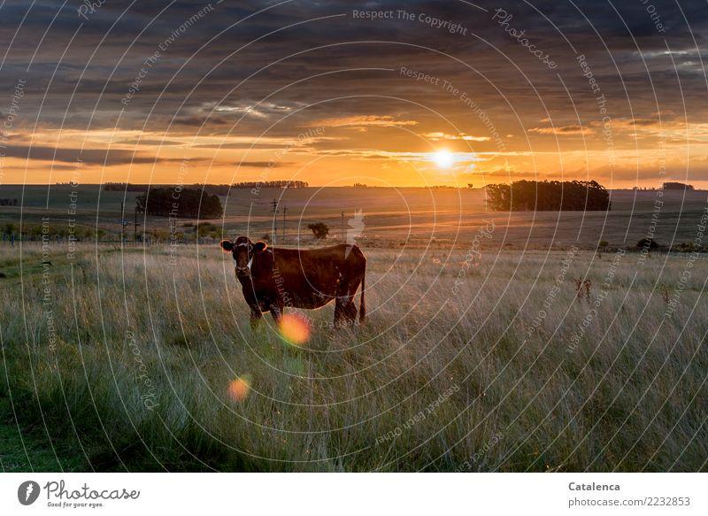 Rind in der Abendsonne Landschaft Pflanze Tier Himmel Gewitterwolken Horizont Klimawandel Baum Gras Eukalyptusbaum Wiese Feld Pampa Steppe Haustier Nutztier Kuh