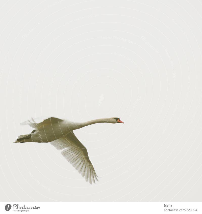 Fliegen Umwelt Natur Tier Luft Himmel Vogel Schwan 1 fliegen ästhetisch frei hell natürlich grau weiß anstrengen Bewegung elegant Freiheit Farbfoto