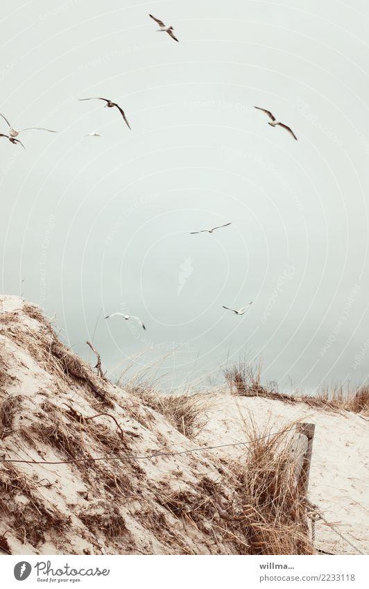 Möwen über den Dünen am Ostseestrand Sand Küste Strand Stranddüne Dünengras Usedom Zaunpfahl