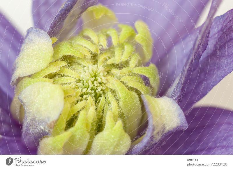 Clematisblüte, gelb und violett Tier Frühling Sommer Blume Blüte Kletterpflanzen Waldrebe Staubbeutel Blütenblatt Garten Park Blühend zart Klettern ranken