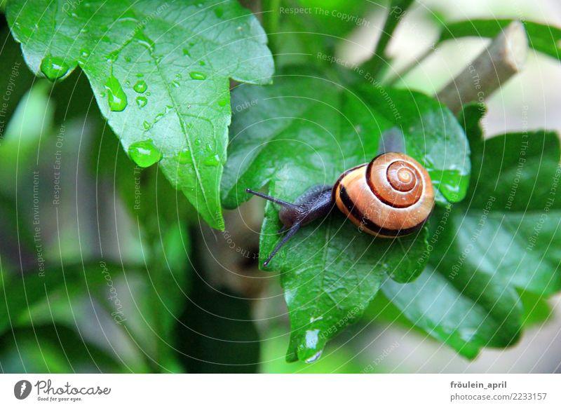 ohne Rettungsschirm Natur Wassertropfen Sträucher Blatt Tier Schnecke 1 klein schleimig braun grau grün Zufriedenheit Tatkraft achtsam ruhig Ausdauer anstrengen