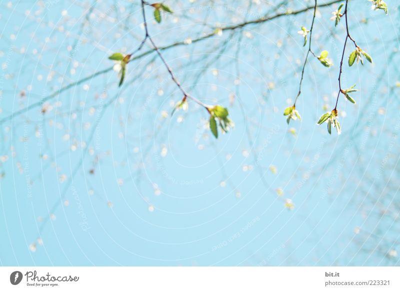 ein bisschen Frühling liegt in der Luft... Himmel Natur Baum grün blau Pflanze Sommer Blatt Umwelt Wetter frisch Ast Blühend Duft Blütenknospen