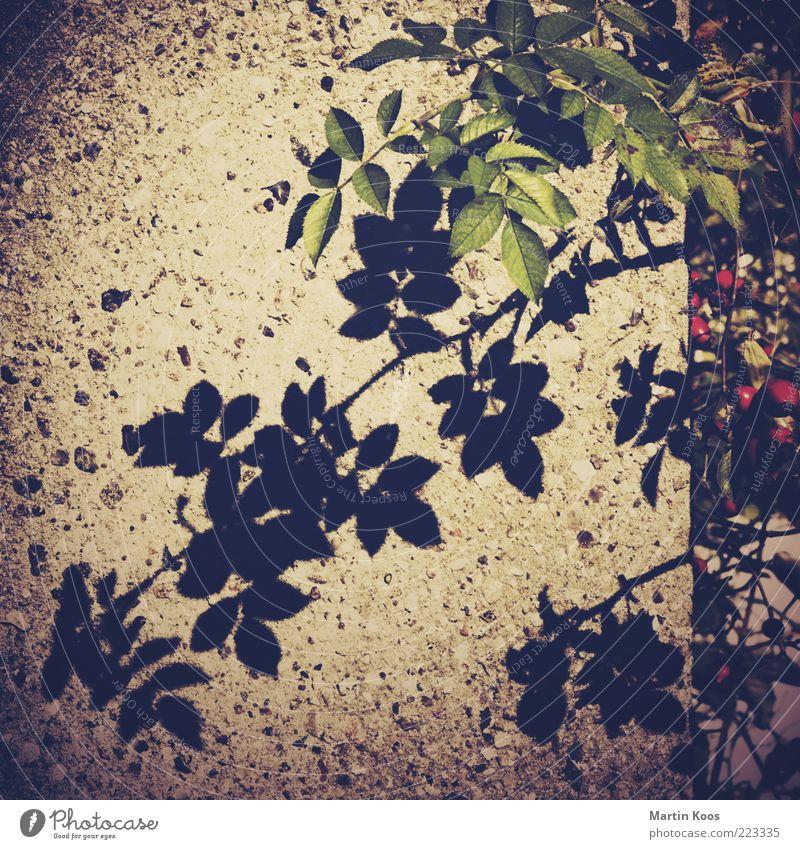 Teesorte und Schatten Natur Pflanze Blatt dunkel Frucht Rose Sträucher Ast Blume Zweig Steinwand Blattschatten