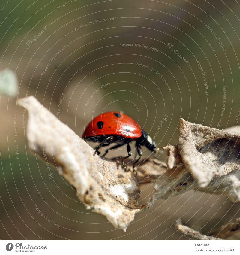 Ein kleiner Käfer geht spaziern Natur Pflanze rot Blatt schwarz Tier Umwelt Beine hell klein natürlich Wildtier nah vertrocknet Käfer krabbeln