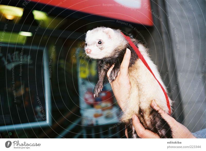 Tierhaltung Haustier Wildtier Katze Maus Tiergesicht 1 Schwarm Tierjunges Halt Hände berühren bezahlen genießen Blick Häusliches Leben außergewöhnlich