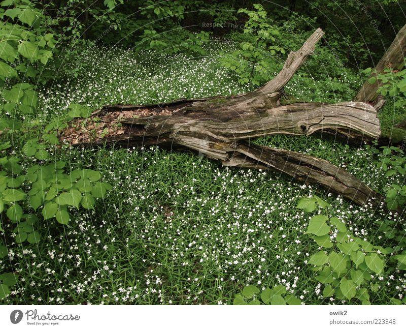 Waldstück Umwelt Natur Pflanze Frühling Baum Blume Gras Sträucher Blatt Blüte Holz Blühend liegen dehydrieren Wachstum grün weiß ruhig Tod Idylle Verfall