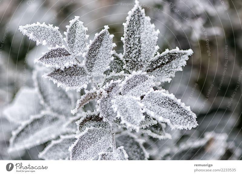 Frost auf Rosenblättern Winter Schnee Garten Natur Pflanze Wetter Blatt Park Wald natürlich grün weiß Ast Großstadt kalt Kristalle Reif Raureif Eis eisig