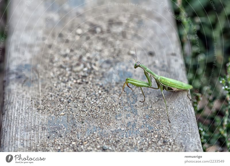 Nahaufnahme einer Gottesanbeterin Tier stehen wild grün Arthropode Wanze Fleischfresser Lebewesen Insekt Schädlinge betend Raubtier Tierwelt Timisoara Rumänien