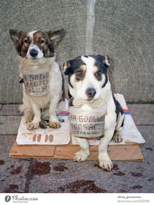 Für die große Wurst. Tier Haustier Hund Tiergesicht 2 Kommunizieren sitzen warten authentisch Zusammensein niedlich mehrfarbig grau Farbfoto Außenaufnahme Tag