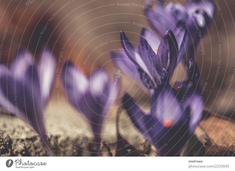 LILA Frühlingserwachen Valentinstag Geburtstag Natur Pflanze Sonnenlicht Schönes Wetter Blüte Wildpflanze Frühblüher Krokusse Knollengewächse Blütenpflanze