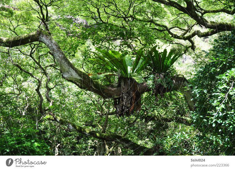 Schmarotzer Natur Baum grün Pflanze Sommer schwarz nass Wachstum wild Urelemente Urwald exotisch beweglich Wald Farn Expedition