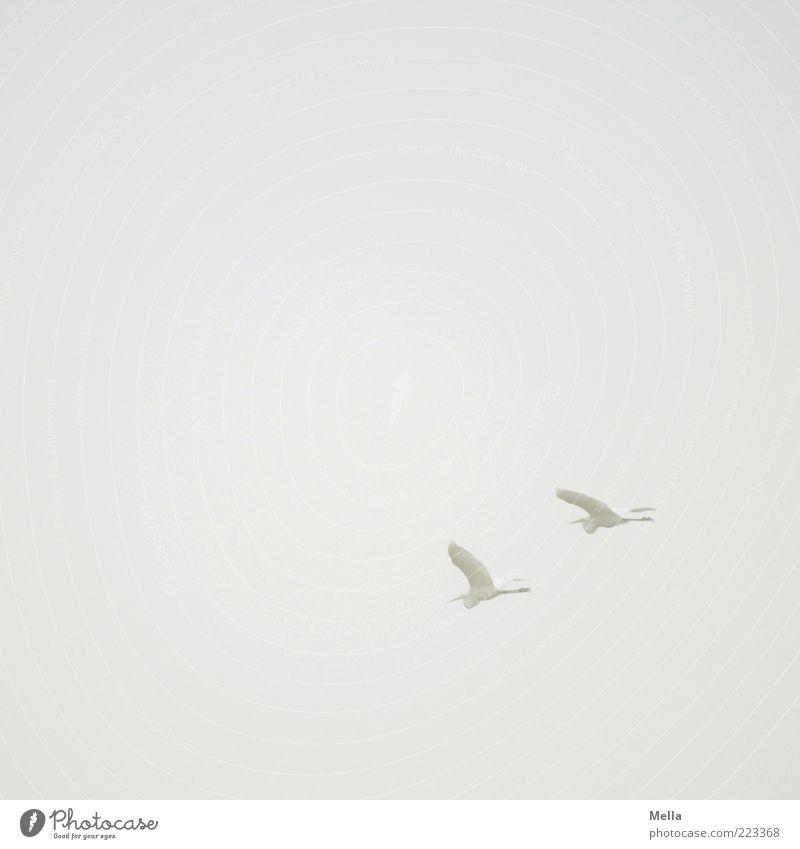 Reise Luft Himmel Nebel Tier Vogel Reiher Silberreiher 2 fliegen frei Zusammensein natürlich grau weiß elegant Freiheit Natur Umwelt Tierpaar paarweise Farbfoto