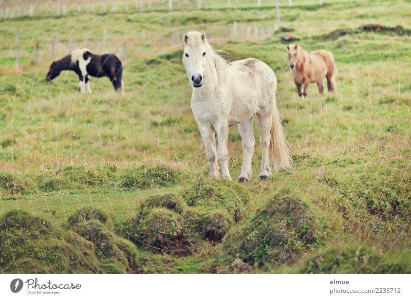 3 Isländer Weide Pferd Island Ponys Schimmel Tiergruppe Kommunizieren Blick stehen ästhetisch elegant frei Zusammensein Glück weiß Lebensfreude Tierliebe