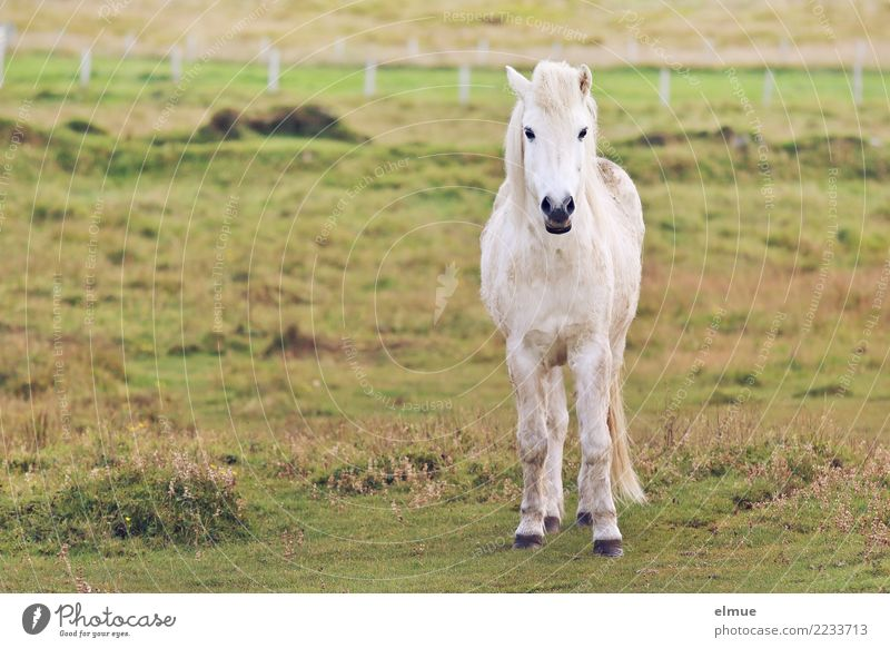 schimmeliger isländer Weide Pferd Isländer Island Ponys Fell Fellfarbe Schimmel Kleinpferd beobachten Kommunizieren stehen weiß Glück Zufriedenheit Lebensfreude