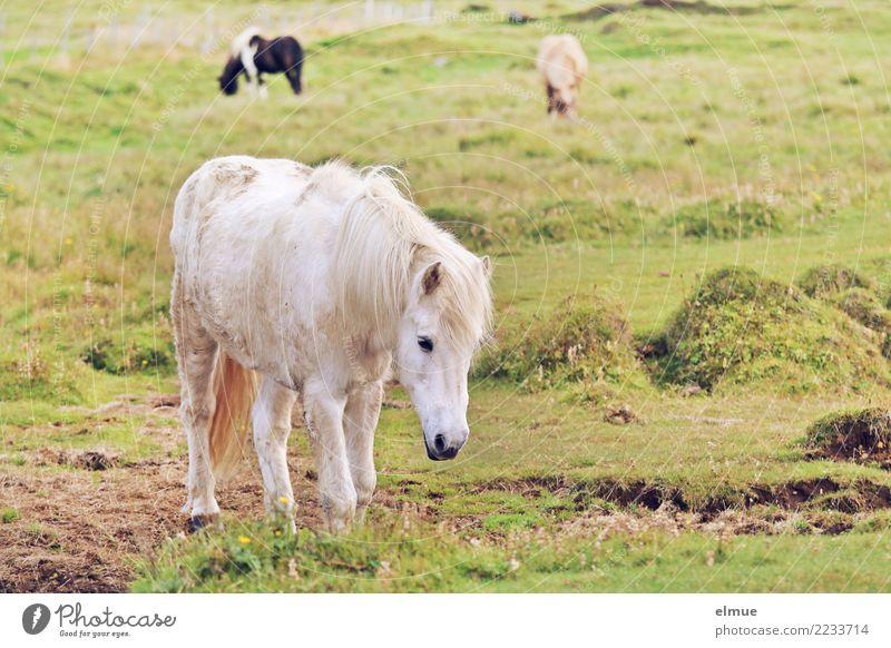 Isländer Natur Ferien & Urlaub & Reisen schön weiß Wege & Pfade Glück gehen Zufriedenheit frei elegant Idylle Lebensfreude Abenteuer Romantik Weide Pferd