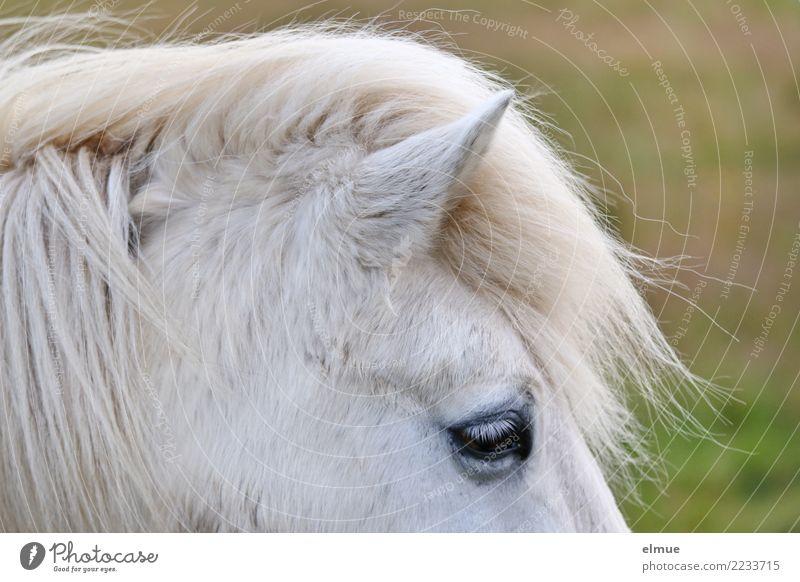 1 PS, aufmerksam Pferd Island Ponys Schimmel Ohr Fell Fellfarbe Auge Mähne stehen ästhetisch frei schön nah natürlich weiß Glück Lebensfreude Tierliebe