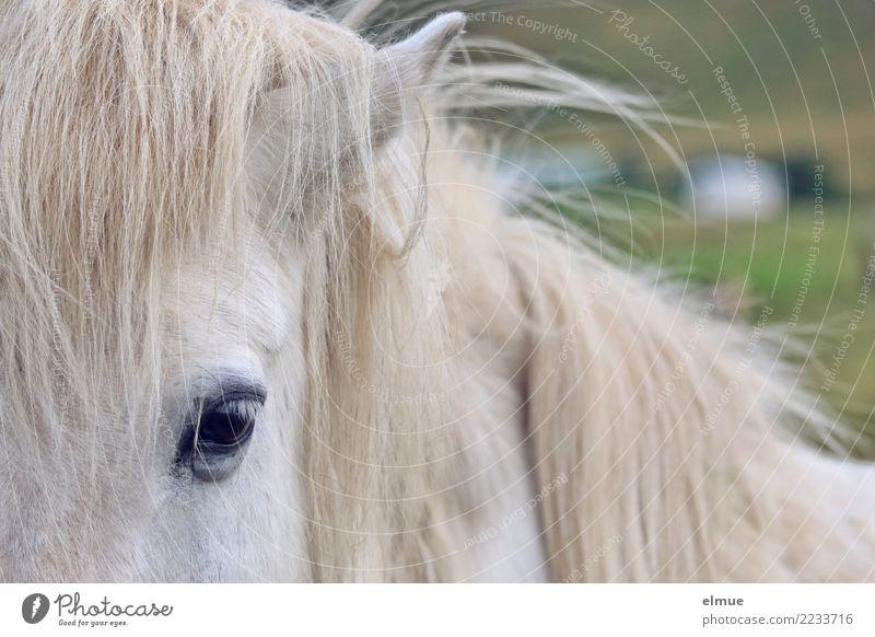1 PS, schimmelig Pferd Isländer Island Ponys Schimmel Mähne Auge Fellfarbe beobachten Kommunizieren Blick ästhetisch elegant nah Neugier weiß Zufriedenheit