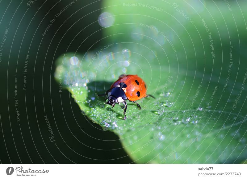 taufrisch Natur Wassertropfen Sommer Pflanze Blatt Tier Käfer Siebenpunkt-Marienkäfer Insekt 1 krabbeln natürlich positiv grün orange schwarz Glück ruhig Tau