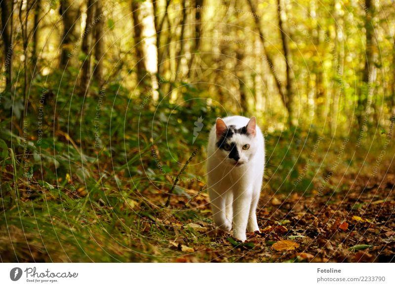 Rumtreiber Umwelt Natur Landschaft Pflanze Tier Erde Herbst Baum Sträucher Blatt Wald Haustier Katze Tiergesicht Fell frei nah natürlich weich braun grün