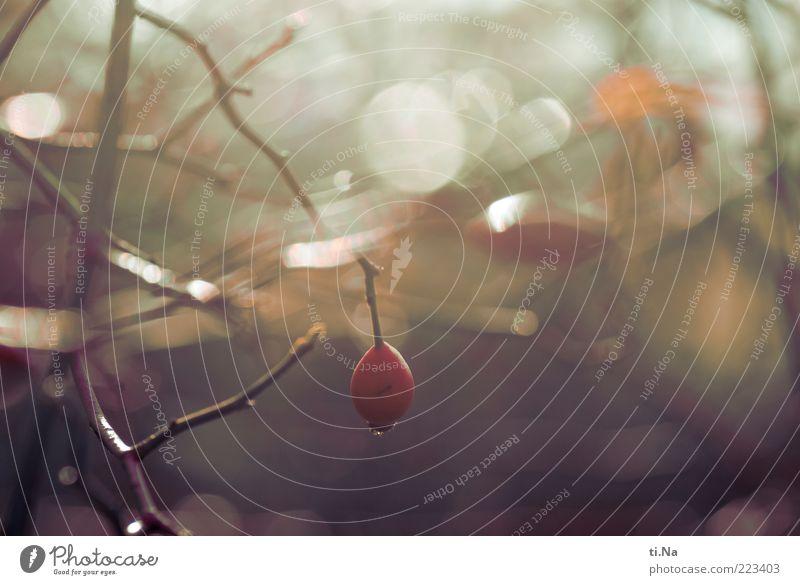 heute darfst Du abhängen Umwelt Natur Wasser Wassertropfen Herbst Winter Schönes Wetter Pflanze Sträucher Rose Wildpflanze glänzend hell nass rot Farbfoto