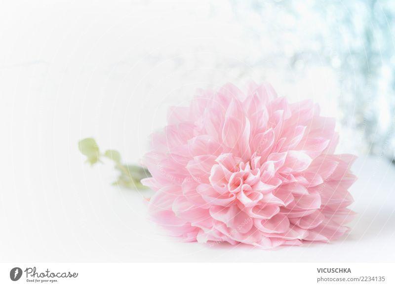 Blass rosa Blume Natur Pflanze schön Blatt Blüte Liebe Hintergrundbild Stil Feste & Feiern Design Dekoration & Verzierung Geburtstag Geschenk weich