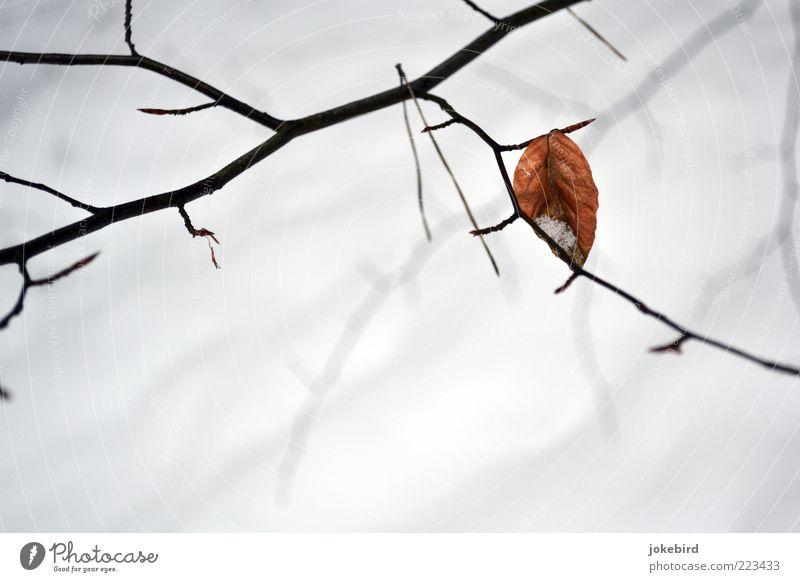 Übriges Winter Buchenblatt Zweig Blatt Herbstlaub Herbstfärbung einfach weiß Rest karg Winterschlaf Farbfoto Außenaufnahme Menschenleer Textfreiraum unten
