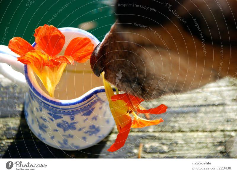kapuzinerkresse mit terrier schön Pflanze Sommer Tier Blüte Hund Kräuter & Gewürze niedlich Freundlichkeit Duft Geruch Holzbrett Haustier Vorsicht zerbrechlich