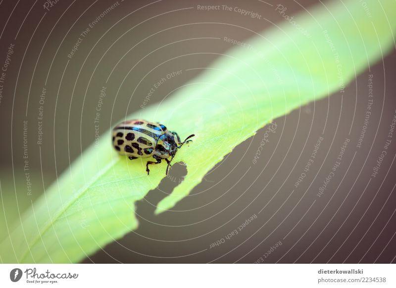 Käfer Umwelt Natur Landschaft Tier Nutztier Fressen Schädlinge Schädlingsbekämpfung Insekt Umweltschutz Artenschutz Artenreichtum Marienkäfer Farbfoto