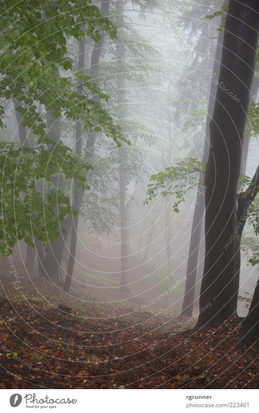 Nebelwald Natur Herbst Baum Blatt Wald Angst Außenaufnahme Menschenleer Morgendämmerung Zentralperspektive Tag