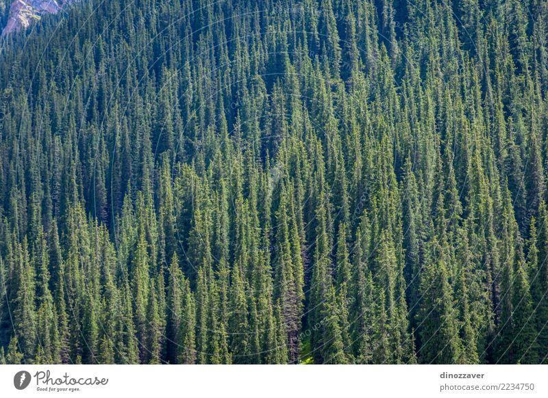 Gezierter Wald in den Bergen schön Ferien & Urlaub & Reisen Sommer Berge u. Gebirge Umwelt Natur Landschaft Pflanze Baum Park Hügel natürlich grün Fichte Tanne