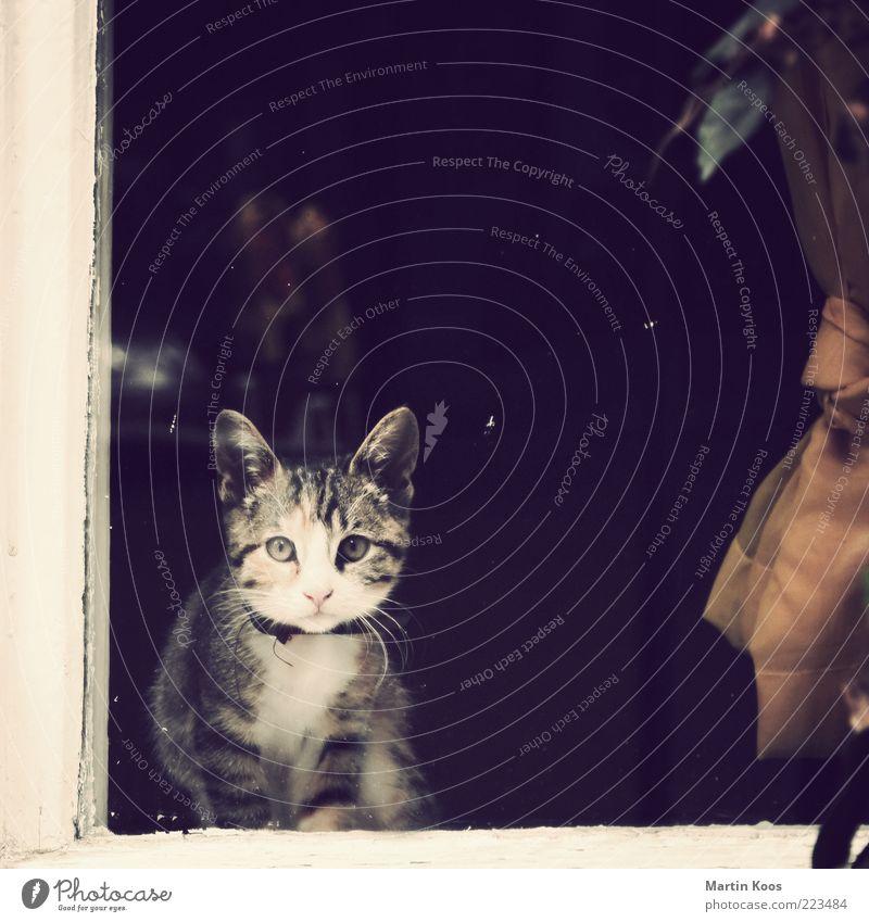 Kuckuck Kätzchen Katze schön Einsamkeit Tier Tierjunges klein sitzen niedlich süß weich Neugier Fell Haustier Tiergesicht Fensterscheibe Vorhang