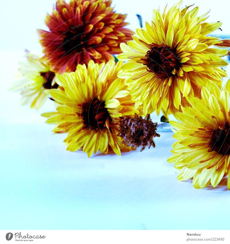 Weißabgleichsunfall² Blume Kitsch Vergänglichkeit Blumenstrauß Dekoration & Verzierung Floristik Dahlien Blüte Blühend Frühlingsgefühle Blütenblatt Farbfoto