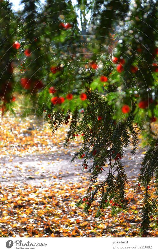 Vorhang grün Baum rot Herbst Wege & Pfade Blüte Boden verstecken Zweig hängen Herbstlaub Samen herbstlich Herbstfärbung Versteck Nadelbaum