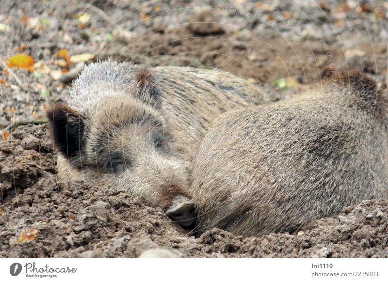 Wildschweine Natur weiß Tier Wald schwarz gelb grau braun Park Erde Wildtier Tiergruppe Warmherzigkeit nass Müdigkeit Geborgenheit