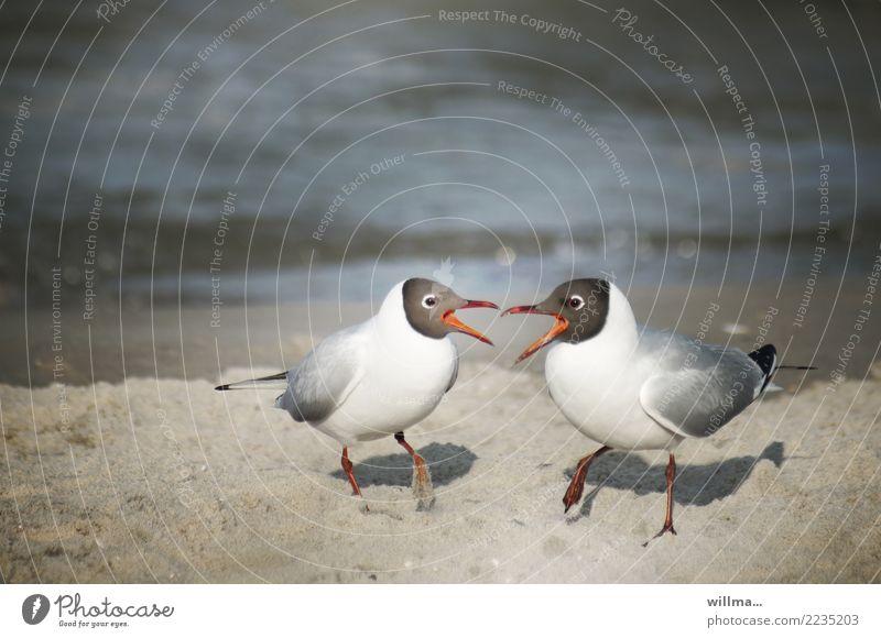 let's twist again! Möwe Lachmöwe Strand Ostsee Sandstrand Vogel Tierpaar Konflikt & Streit Kommunizieren Zusammensein Duett Farbfoto Außenaufnahme Menschenleer