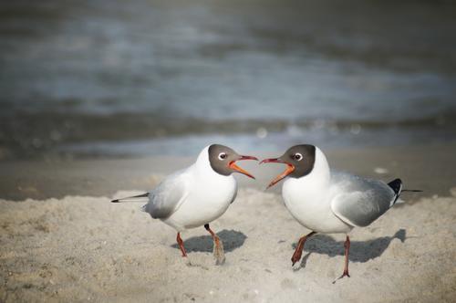 let's twist again! Tier Strand Vogel Zusammensein Tierpaar Kommunizieren Ostsee Konflikt & Streit Möwe Sandstrand Duett