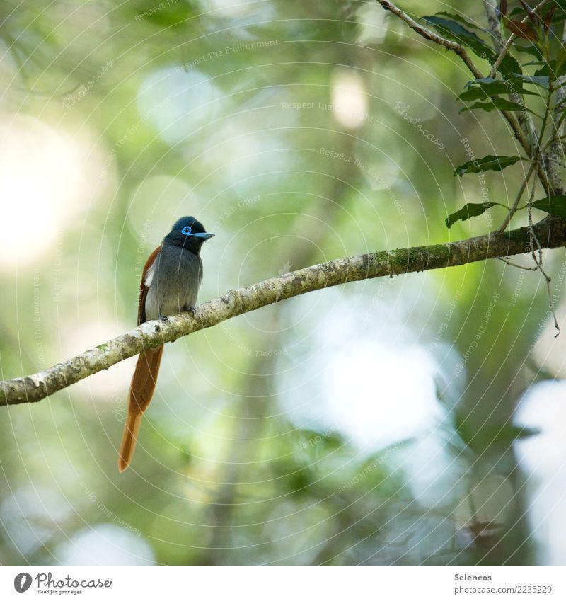 Paradiesschnäpper Natur Ferien & Urlaub & Reisen Sommer Tier Ferne Wald Umwelt natürlich Garten Freiheit Vogel Ausflug Park Wildtier Sommerurlaub Tiergesicht
