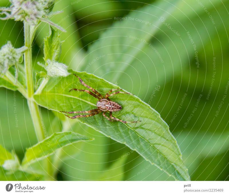 European garden spider Natur Pflanze rot Tier natürlich warten fangen Spinne Fleischfresser Kreuzspinne Radnetzspinne