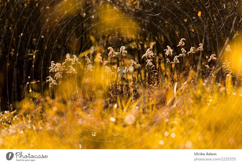 Herbstleuchten - Goldrute (Solidago) Natur Pflanze Landschaft Blume Erholung ruhig Winter gelb Blüte Garten Park glänzend gold Idylle