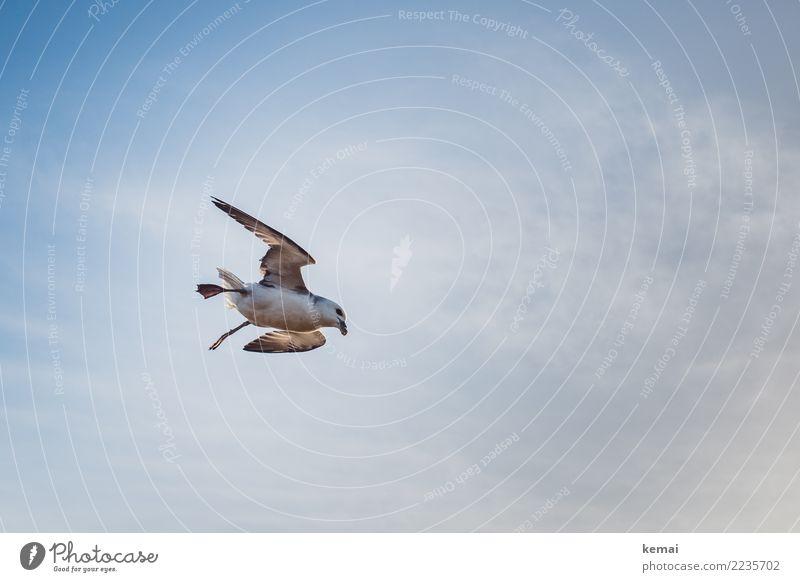 English seagull. Himmel blau Erholung Tier Wolken ruhig Ferne Leben Freiheit Vogel fliegen Ausflug Freizeit & Hobby Luft Wildtier ästhetisch