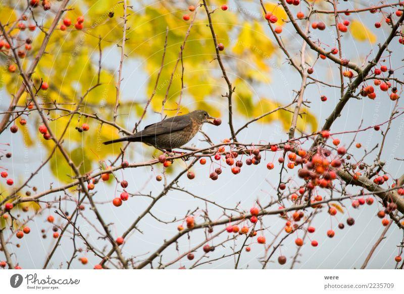 Eine Amsel sitzt in einem Zierapfelstrauch Tier Vogel Frucht Wildtier Apfel Fressen
