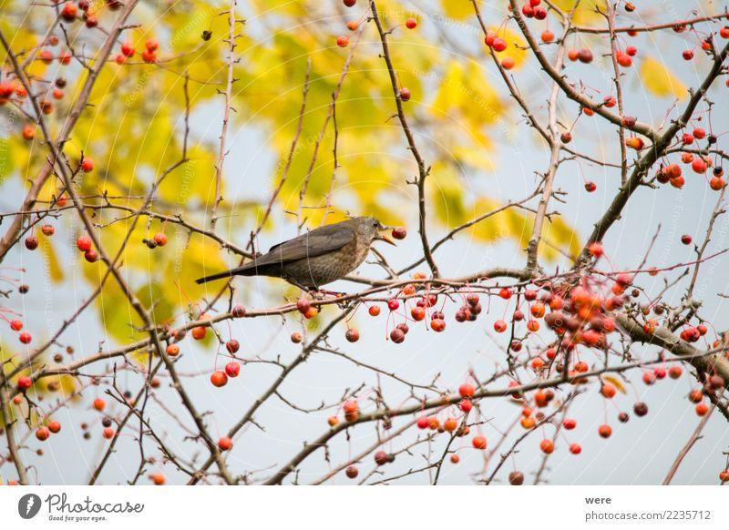 Eine Amsel sitzt in einem Zierapfelstrauch Natur Baum Tier Essen Garten Vogel Park Wildtier authentisch Sträucher Flügel Apfel Fressen