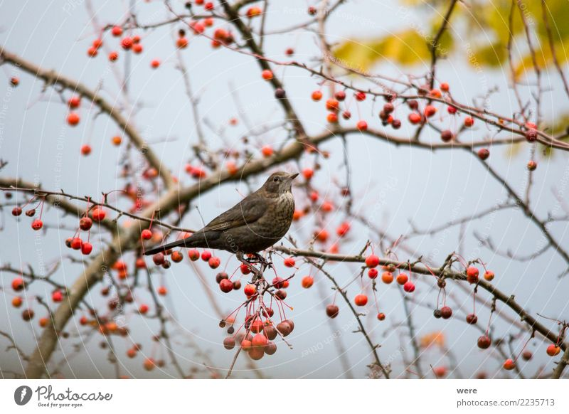 Eine Amsel sitzt in einem Zierapfelstrauch Landschaft Baum Tier Essen Garten Vogel Wildtier sitzen Sträucher Fressen